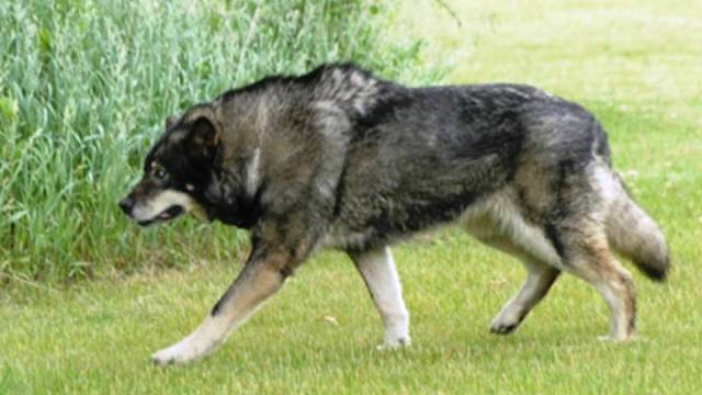 wolf hybrid also known as the wolf dog is a cross breed between a dog