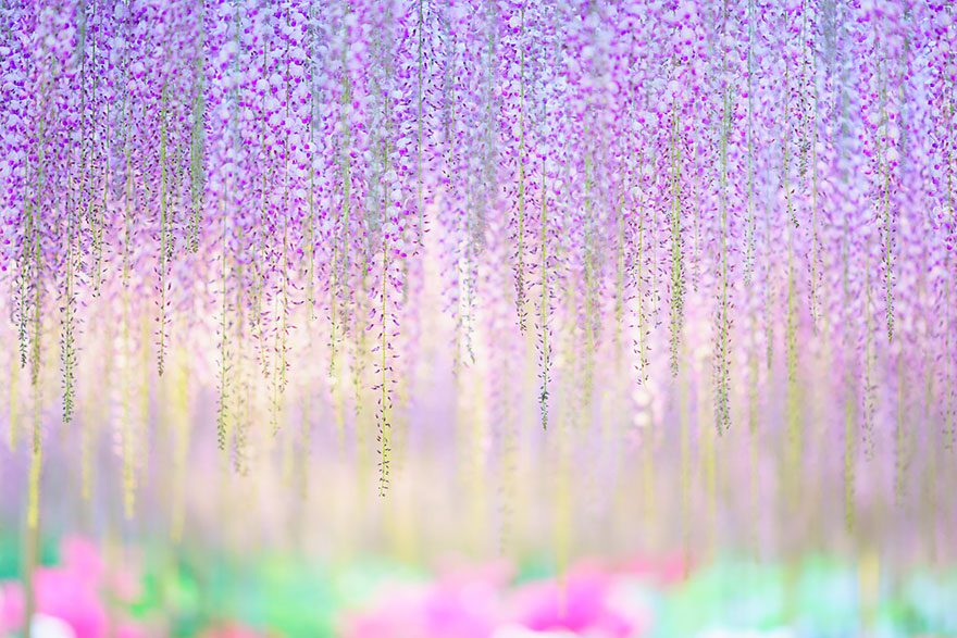 This YearOld Wisteria In Japan Is Beautiful Beyond Words - Beautiful wisteria plant japan 144 years old