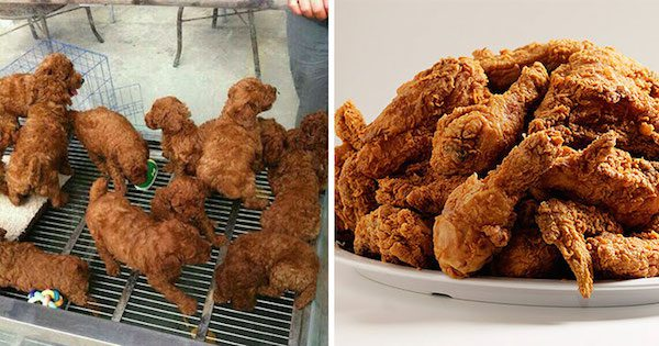 These puppies and fried chicken