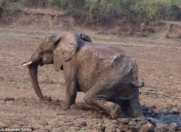 Finally, Mom is able to escape for good. She runs back to her herd and her worried baby.