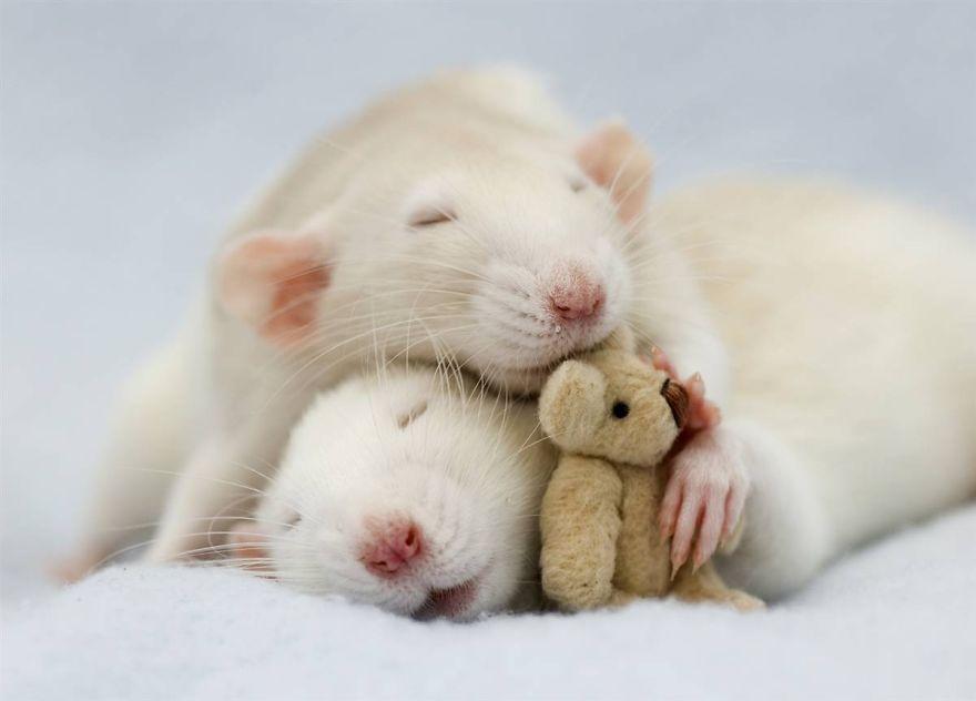 cute-pet-rats-16__880