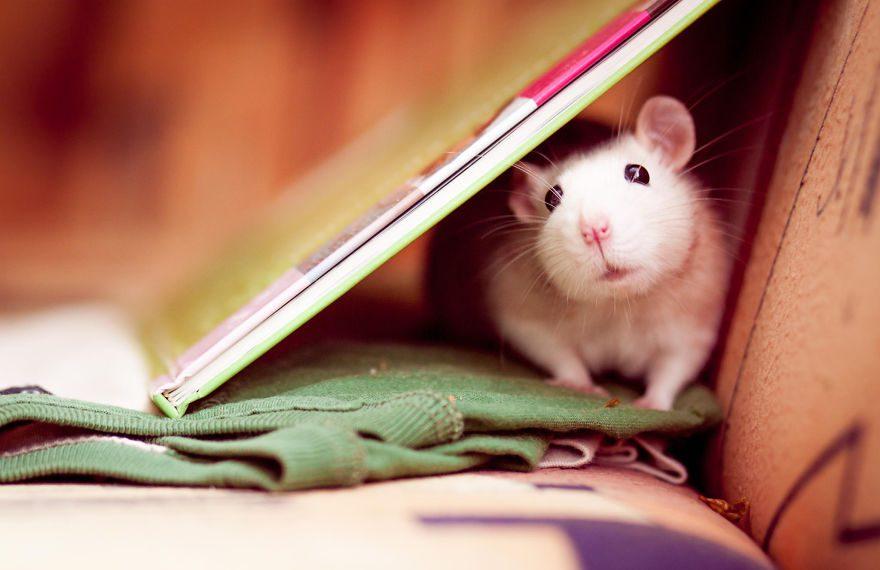 cute-pet-rats-21__880