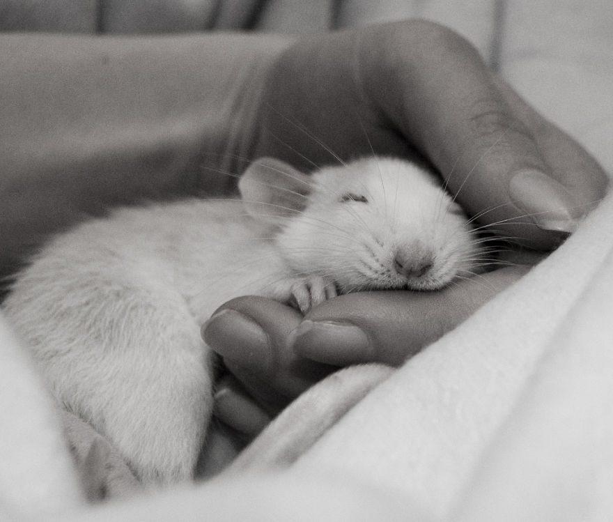 cute-pet-rats-36__880