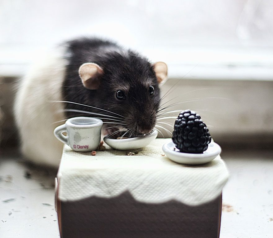 cute-pet-rats-511__880