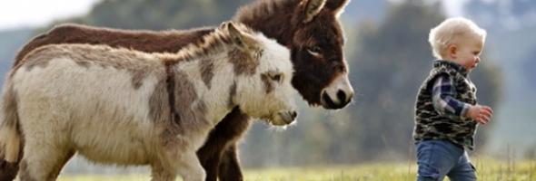 miniature-donkey