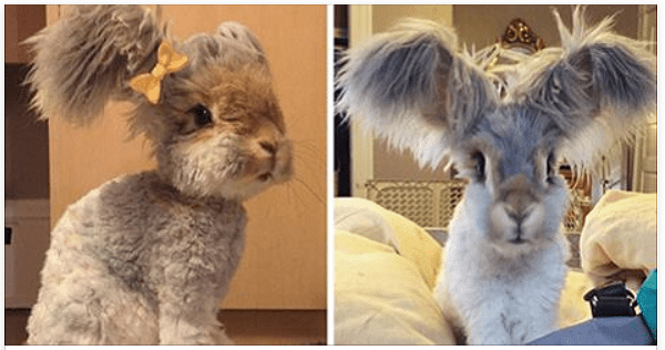 This Adorable Bunny Has Giant Wings For Ears And Will