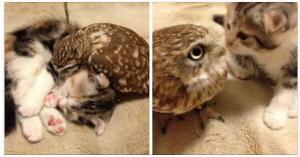 kitten owl