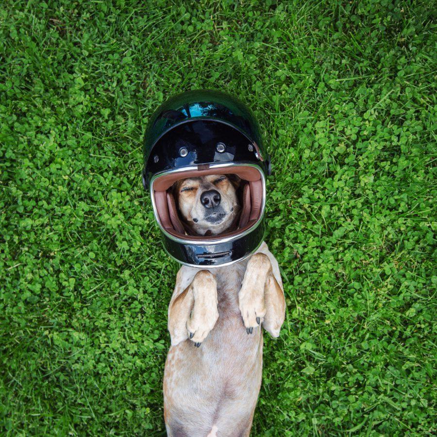 dog adoption travel buddy 2