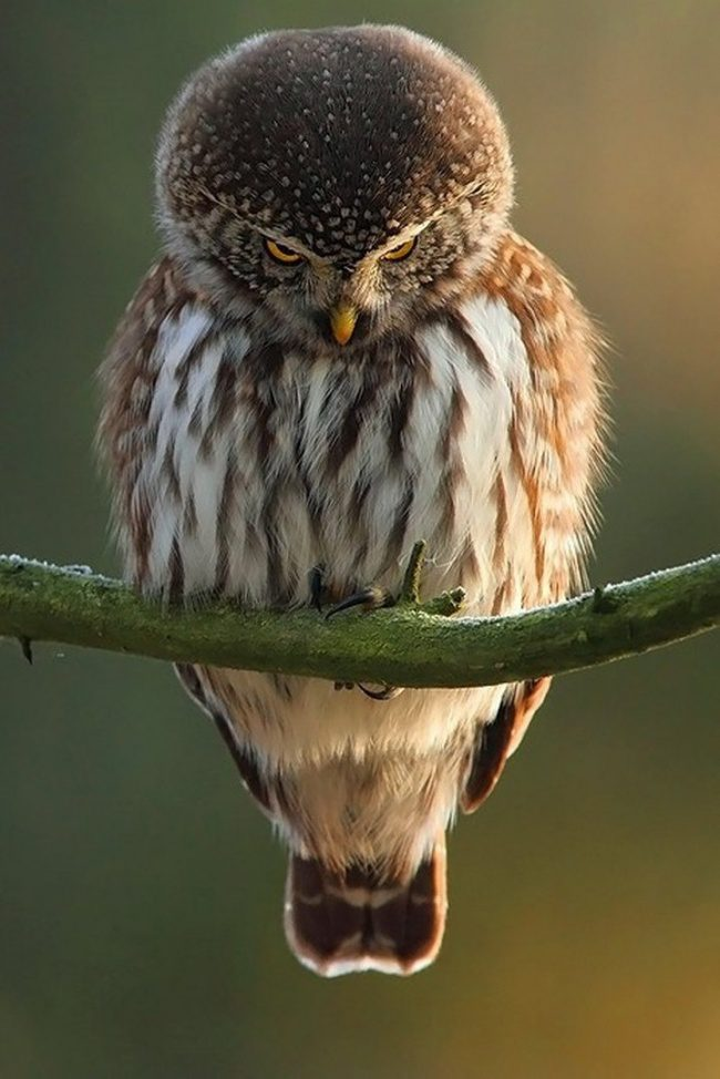 greatest owl pictures 93