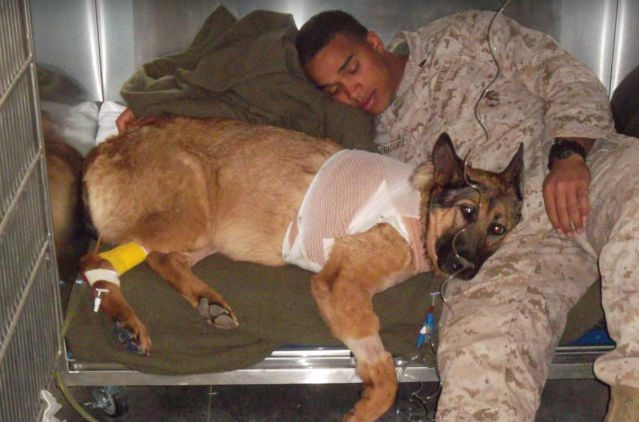 war hero dog