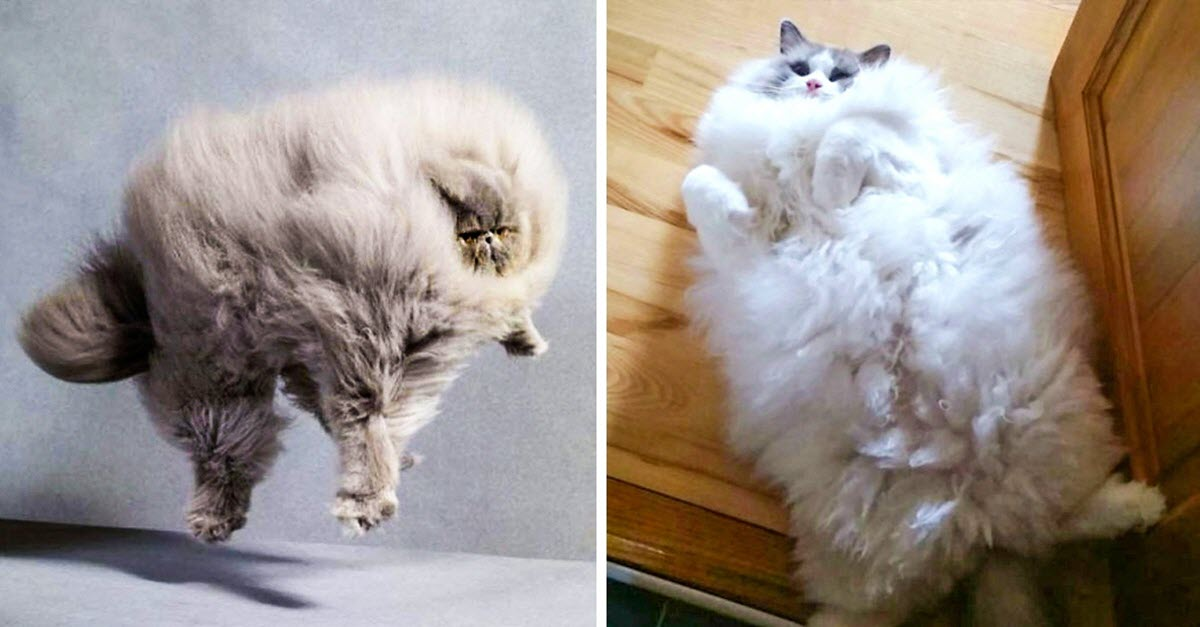 20 Of The Furriest Cats In The World Who Would Love To Snuggle With You