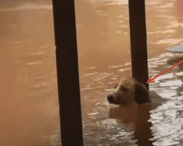 Dog chained porch flood