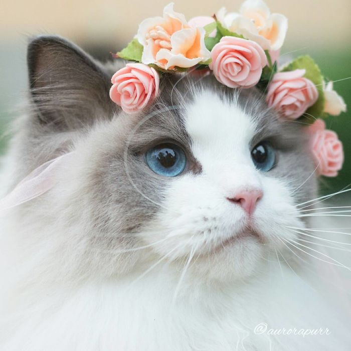 Her Name Is Aurora And She Is Known As The Fluffy Cat Princess