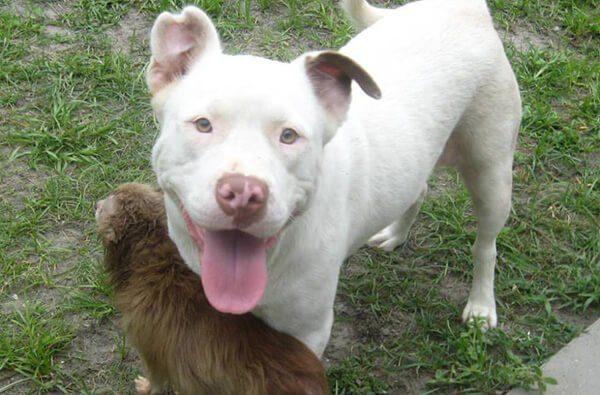 pit bull saves chihuahua