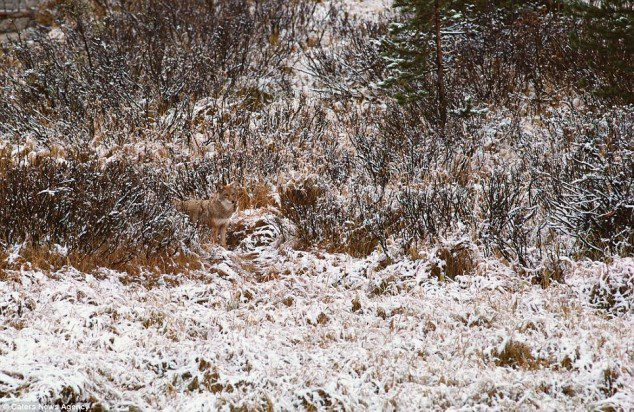 Spot the coyote.