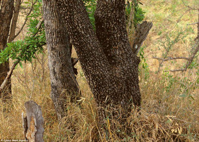 Spot the leopard.
