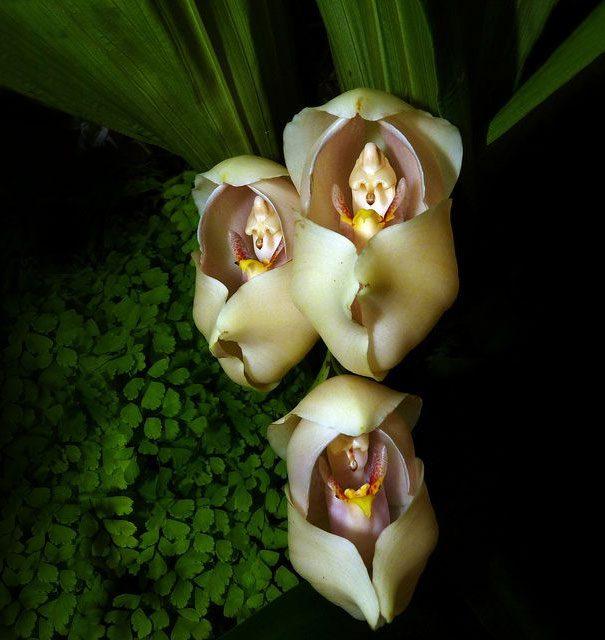 Flowers that look like monkeys