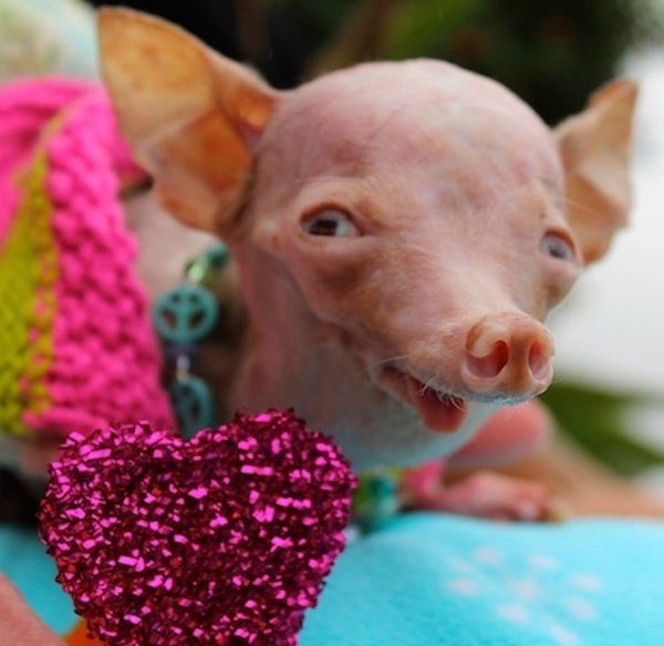 rosie was saved from a backyard breeder and animal hoarder the little