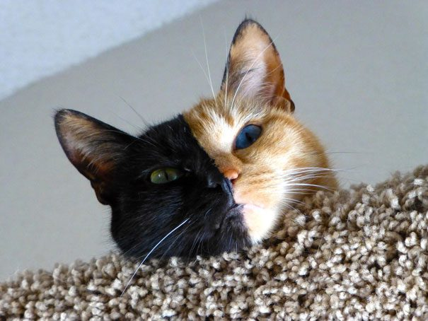 two-faced-chimera-cat-venus-14