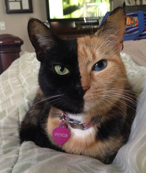 two-faced-chimera-cat-venus-8