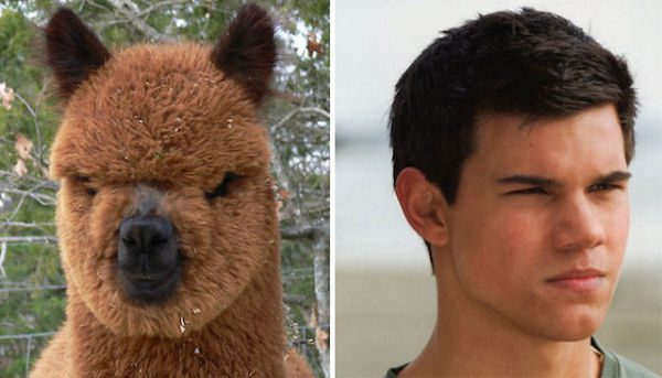 Taylor Lautner and this Alpaca