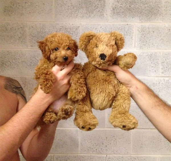 This puppy and this teddy bear