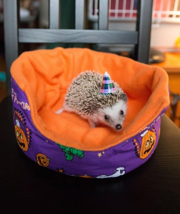 And this teeny hedgie who is celebrating her first birthday.