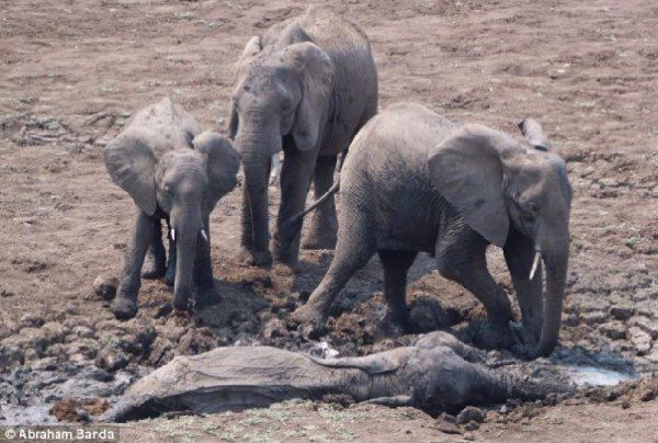 The herd stands in panic over the mother and baby, who both sank deep into Africa's muddy lagoon.