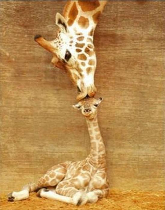 animal-parents-26