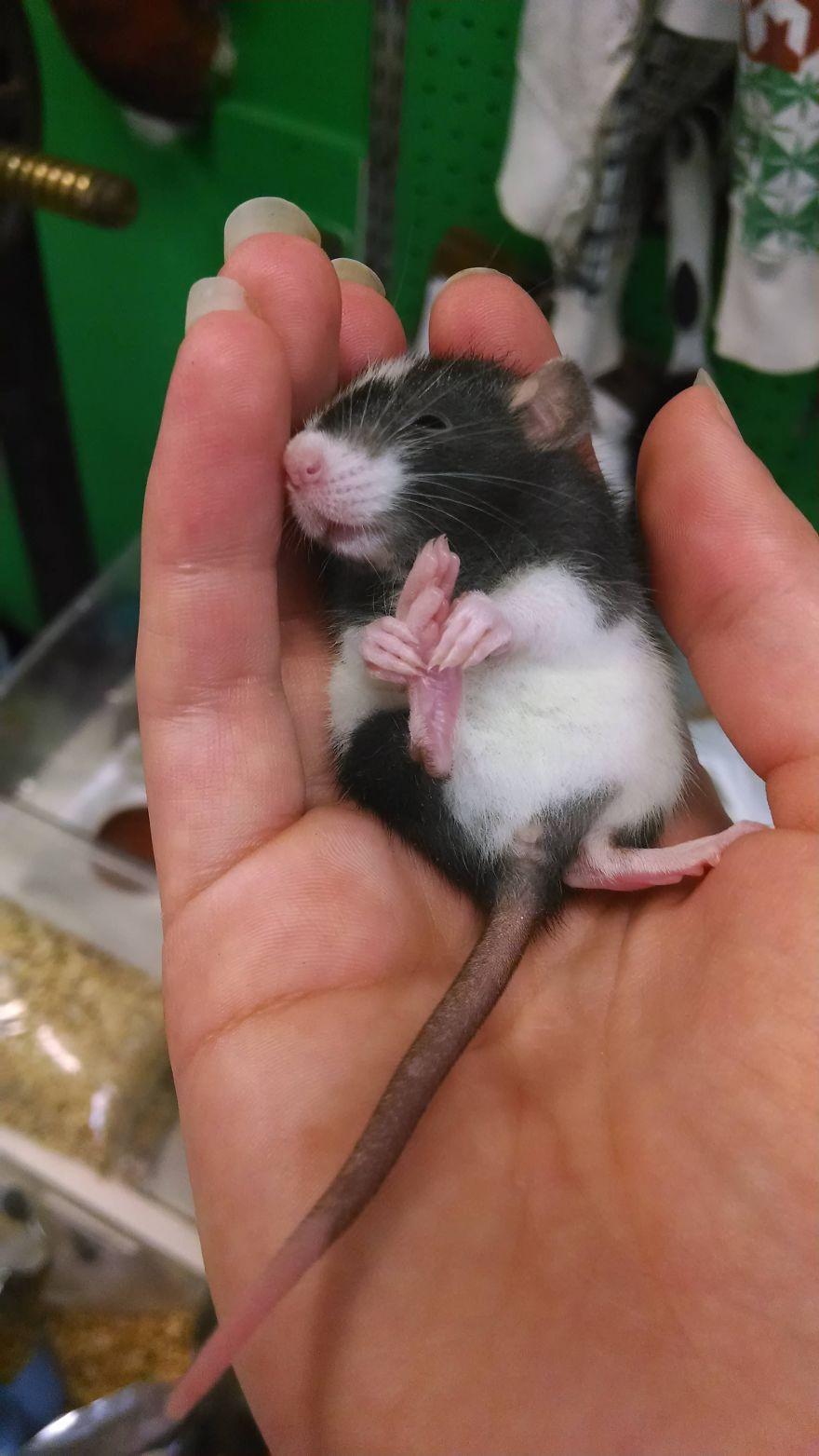 cute-pet-rats-29__880
