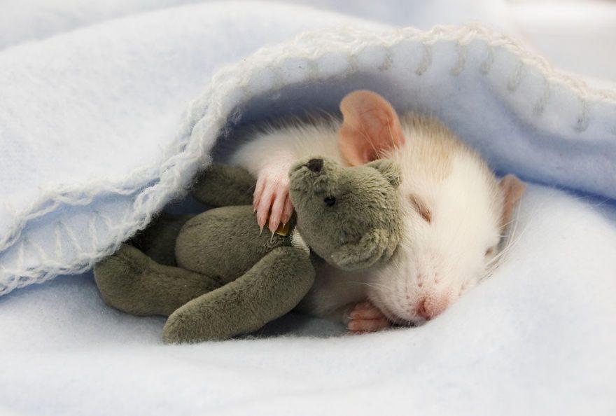 cute-pet-rats-37__880