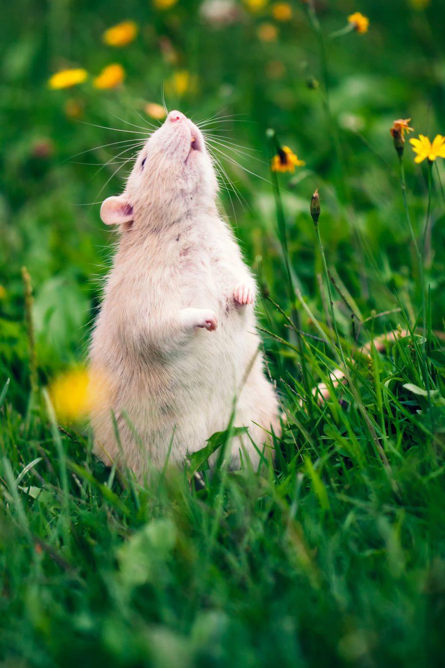 cute-pet-rats-40__880