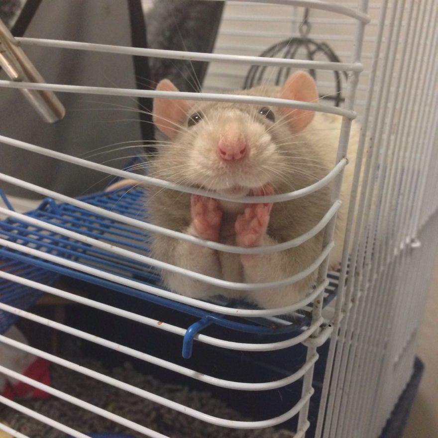 cute-pet-rats-47__880