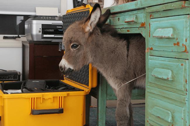 miniature-donkey11