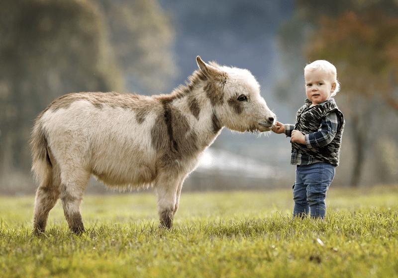 miniature-donkey4