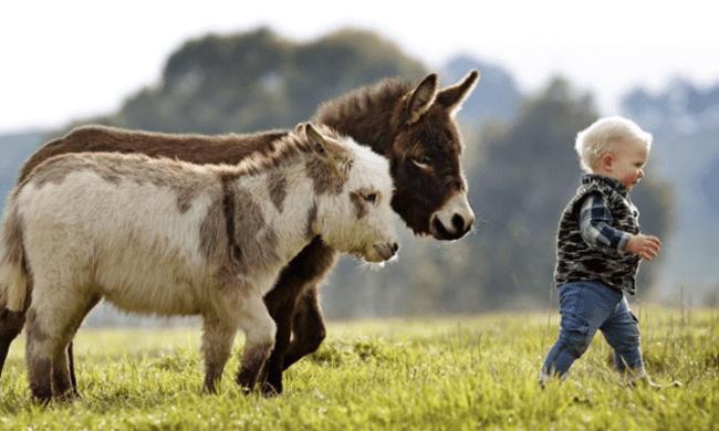 miniature-donkey6