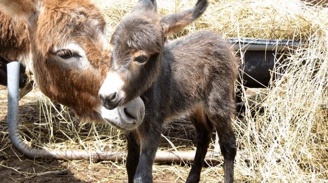 miniature-donkey9