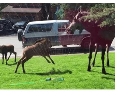 moose playing in sprinkler