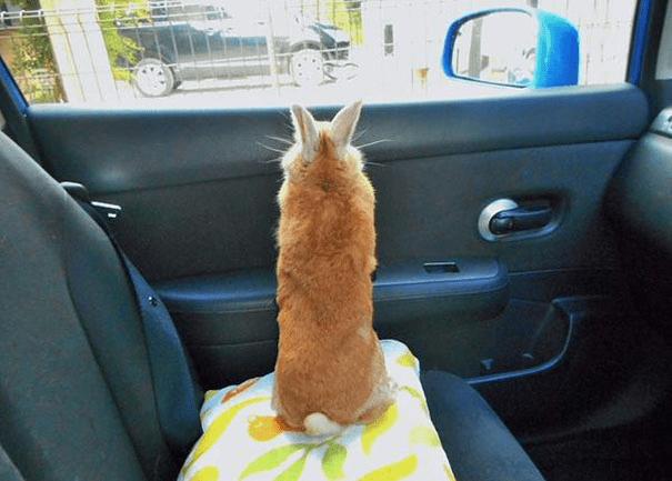short-bunny-koron-japan1