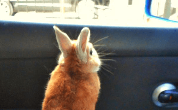 short-bunny-koron-japan2