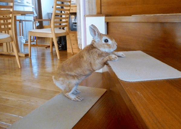 short-bunny-koron-japan8a