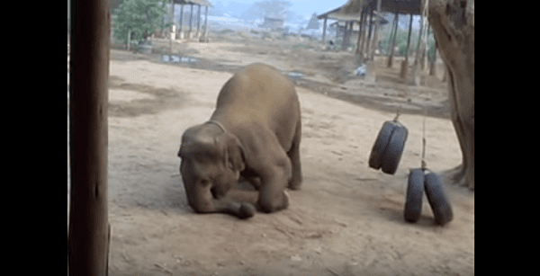 young elephant tire swing