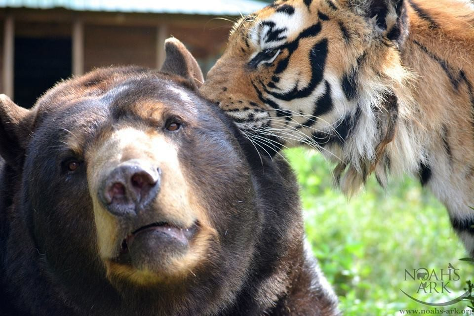 Image result for tiger and bear