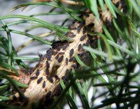 Bugs In Christmas Trees.Miss The Smell And Feel Of A Real Christmas Tree Maybe You