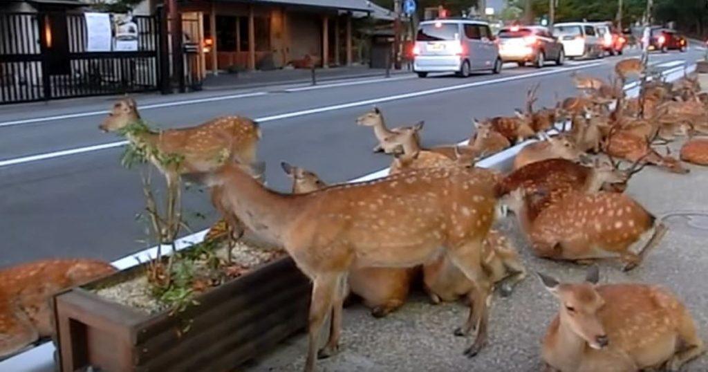 deer in street